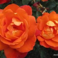 Hever Roses